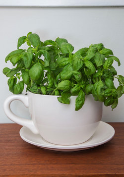 Cuppa Morning Glory Planter